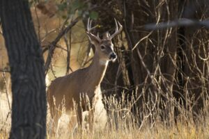 Michigan hunting season 2021 - Whitetail buck