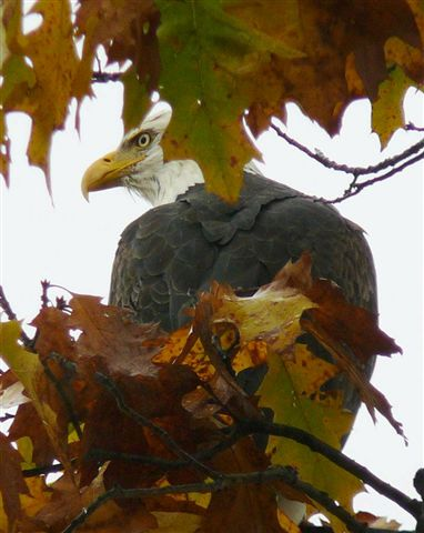bald eagle in the trees, Iron River MI; stay at Chicaugon Lake Inn